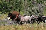 Theodore Roosevelt National Park - Badlands, South Unit - Bison and wild horses