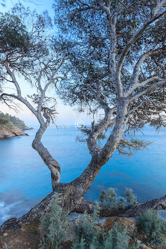 Le domaine du Rayol en février : à la pointe du Figuier, pin d'Alep ( Pinus halepensis ) au tronc gris  argenté. <br /> <br /> (mention obligatoire du nom du jardin & pas d'usage publicitaire sans autorisation préalable)