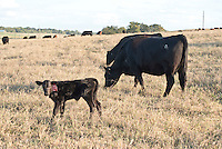 Cattle at South Farm with calves