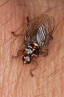 Pferdelausfliege, Pferde-Lausfliege, Lausfliege, Blutsaugend auf menschlicher Haut, Blutsauger, Hippobosca equina, forest-fly
