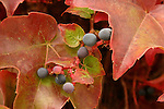 Fall Leaves and berries close up