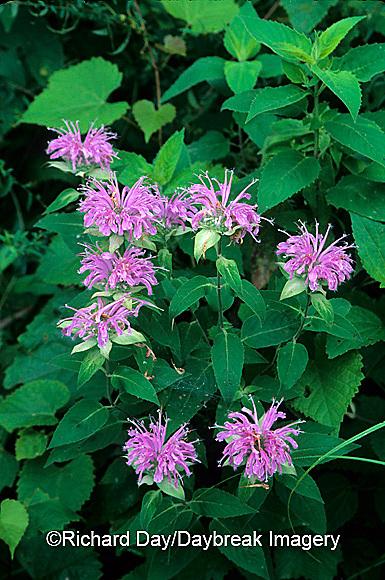 63821-047.17  Wild Bergamot (Monarda fistulosa) in flower garden  Marion Co. IL