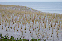 Dünenbepflanzung, Bepflanzung mit Strandhafer, Dünenschutz, Düne, Dünen, Strand, Ostseestrand, Küstenschutz, Ostsee, Boltenhagen. Ammophila arenaria, Beach Grass, Marram Grass. coast protection, coastal preservation, shore protection, dune, beach, Baltic Sea