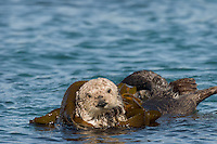 Southern Sea Otter (Enhydra lutris nereis) wrapping up in kelp.  Central California Coast.  Being wrapped in kelp helps keep the otter from drifting away with the tide/current/wind while resting.