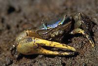 Marsh Fiddler Crab; Uca pugnax; male, NJ