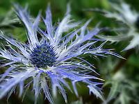 Close up of Eryngium, Big Blue. Oregon