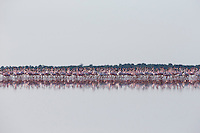 Group of lesser flamingos marching across a flooded Kudiakam Pan