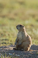 Black-tailed Prairie Dog, Cynomys ludovicianus, adult at entrance to burrow, Lubbock,Texas,September 2005