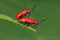 Lily Beetle -  Lilioceris lilii - mating pair