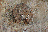 BOBCAT WITH LUNCH