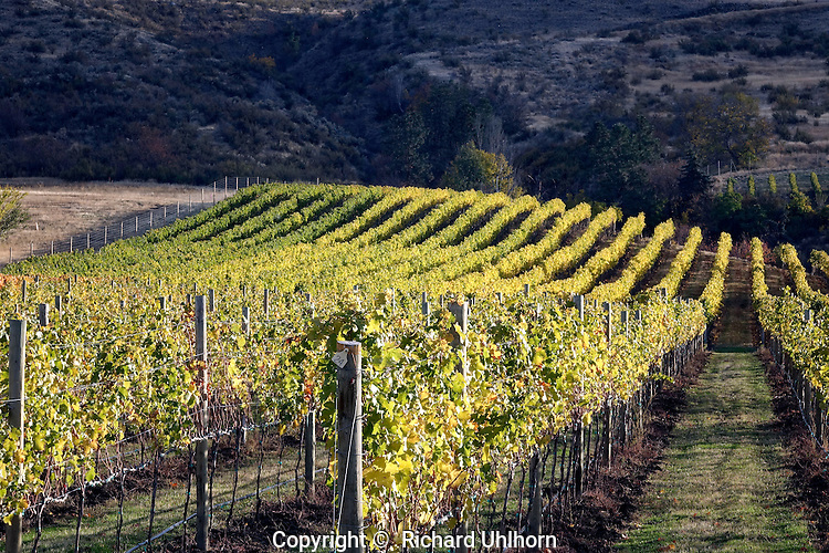 A vineyard on the south shore of Lake Chelan shows its fall colors.