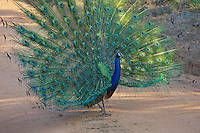 Sri Lankan Peacock performing a spectacular mating ritual,Yala National Park, Sri Lanka