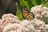 03421-00706 Viceroy (Limenitis archippus) on Autumn Joy Sedum (Sedum spectabile) Marion Co. IL