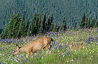 Columbian black-tailed deer (Odocoileus hemionus columbianus) doe with her young fawn among wildflowers--lupine and bistort in subalpine meadow.  Pacific Northwest.  Summer.