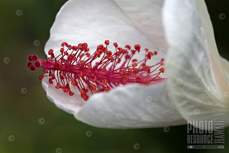 Close-up of white Hibiscus with red stamen