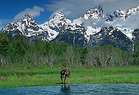 749451046 a wild female or cow moose alces alces stands in the snake river below the tetons at schwabacher landing in grand tetons national park wyoming