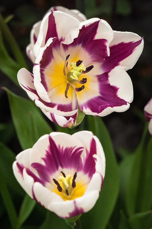 Tulip 'Rem's Favourite' (Triumph Group), mid May. Bred to look like a classic Rembrandt tulip with purple and green veining over white - but in fact a strong-growing, long-flowering modern type.