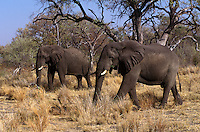 Two ELEPHANTS (Loxodonta Africana) moves through a woodland - MOREMI GAME RESERVE, OKAVANGO DELTA - BOTSWANA