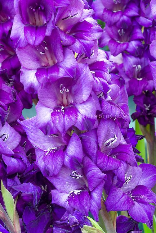 Gladiolus 'Purple Sensation'