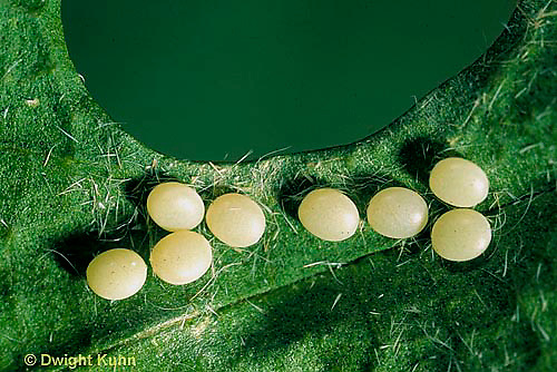 LE42-024a  Silkworm Moth - eggs on mulberry leaf