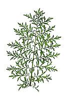 Flixweed - Descurainia sophia
