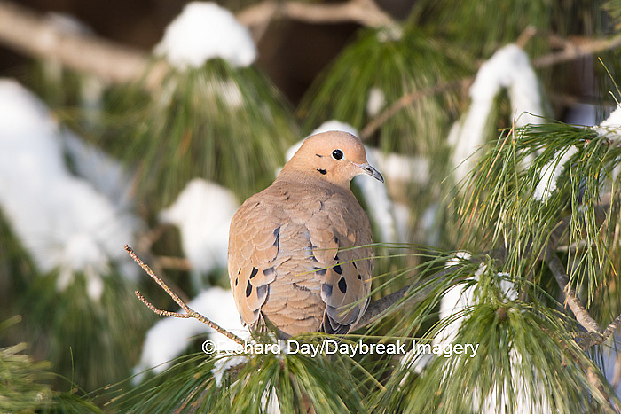 01081-01211 Mourning Dove (Zenaida macroura) in White Pine (Pinus strobus) tree in winter.  Marion Co. IL
