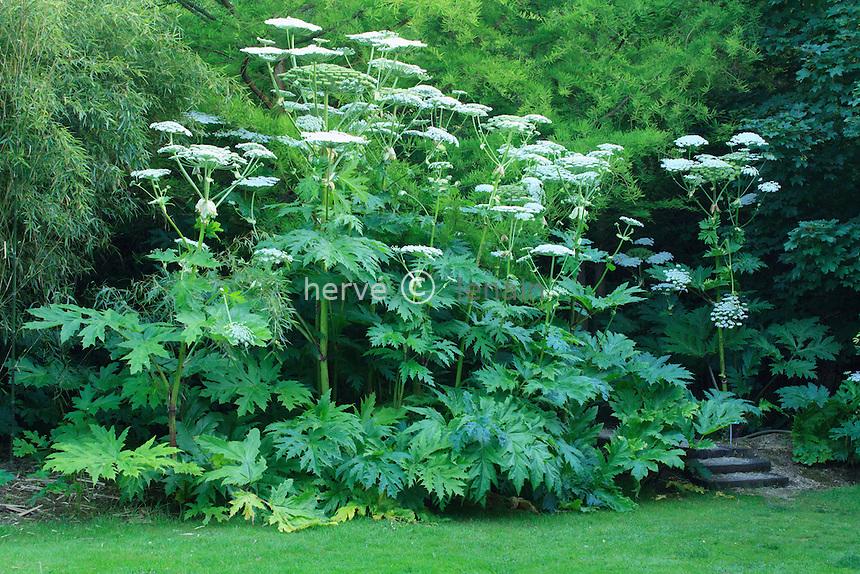 Jardins du pays d'Auge (mention obligatoire dans la légende ou le crédit photo):.massif de berce du Caucase (Heracleum mantegazzianum)