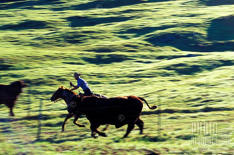 Cowboy working the cattle at Hualalai Ranch, South Kohala, Big Island