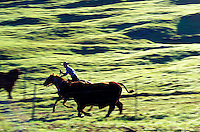 Cowboy working the cattle at Hualalai Ranch, South Kohala, Big Island