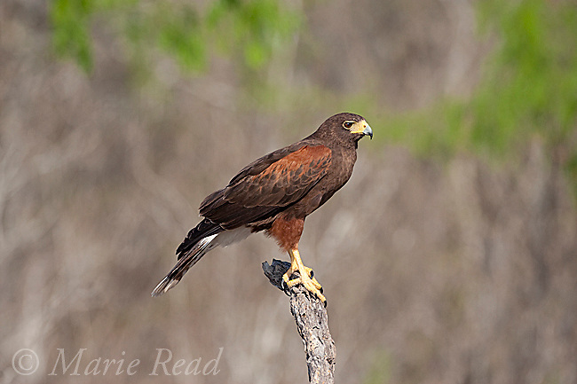 Harris's Hawk (Parabuteo unicinctus), adult, Rio Grande Valley, Texas, USA