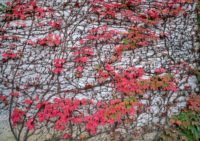 Ivy in fall color on wall. Napa Valley, California