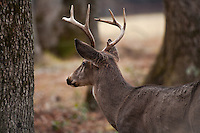 Buck, White-tailed Deer - Odocoileus virginianus, Cades Cove