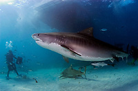 tiger shark, Galeocerdo cuvier, with divers feeding chum under the dive boat, Little Bahama Bank, Bahamas, Caribbean, Atlantic