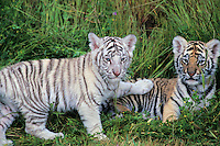 White Bengal Tiger cub with regular colored bengal tiger cub  (Panthera tigris)