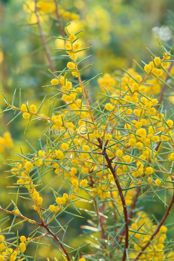 Acacia colletioides