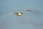 Royal Tern (Thalasseus maximus) flying, Amelia Island, Florida
