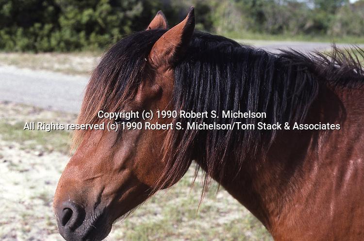 Chincoteague Pony, close-up