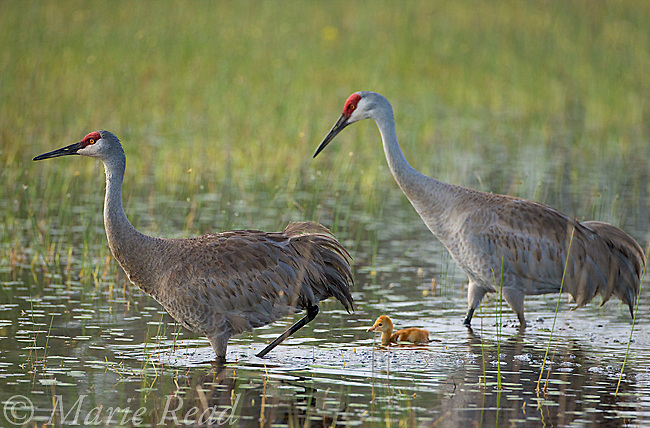 Sandhill Cranes (Grus canadensis) (Florida race), adult with small chick walking in wetland, near Kissimmee, Florida, USA