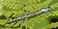 Skimming Bluet (Enallagma geminatum) Damselfly - Female, Promised Land State Park, Greentown, Pike County, Pennsylvania