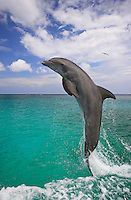 qk0639-D. Bottlenose Dolphins (Tursiops truncatus). Honduras, Caribbean Sea..Photo Copyright © Brandon Cole. All rights reserved worldwide.  www.brandoncole.com..This photo is NOT free. It is NOT in the public domain. This photo is a Copyrighted Work, registered with the US Copyright Office. .Rights to reproduction of photograph granted only upon payment in full of agreed upon licensing fee. Any use of this photo prior to such payment is an infringement of copyright and punishable by fines up to  $150,000 USD...Brandon Cole.MARINE PHOTOGRAPHY.http://www.brandoncole.com.email: brandoncole@msn.com.4917 N. Boeing Rd..Spokane Valley, WA  99206  USA.tel: 509-535-3489