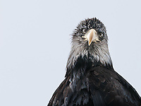Isolated head and shoulders of a Bald Eagle