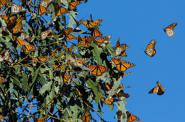 Western Monarch Butterflies (Danaus plexippus) enjoying the California sun on a warmer than usual February day.  Usually within the next few days or weeks they will start to migrate away from their wintering areas.