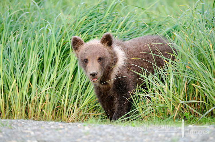 A baby brown bear peeks out from the grass.