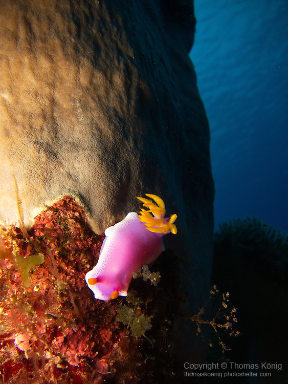 Lighthouse, Green Island -- Robe Hem Hypselodoris (Hypselodoris apolegma), a dorid nudibranch of the H. bullocki complex.