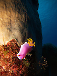 Lighthouse, Green Island -- Robe Hem Hypselodoris (Hypselodoris apolegma), a dorid nudibranch of the H. bullocki complex.