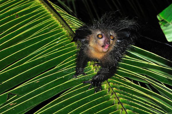 .Aye-aye (Daubentonia madagascariensis), adult at night, Mananara, Eastern Madagascar