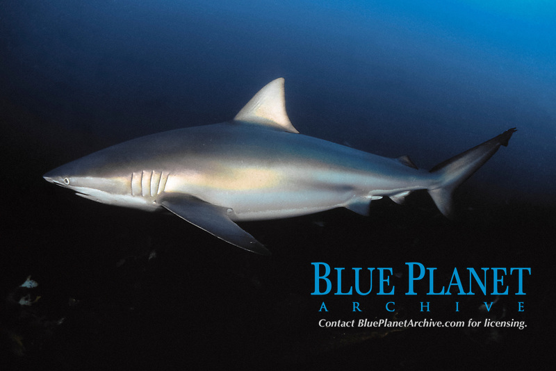 copper shark, bronze whaler, or narrowtooth shark, Carcharhinus brachyurus, South Australia