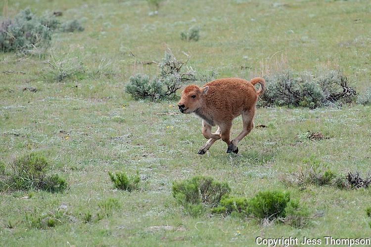 Buffalo calf, Yellowstone National Park