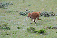 Buffalo calf, Yellowstone National Park