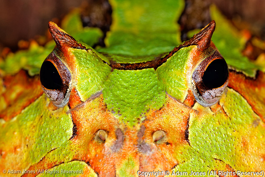 South American horned frog, or Pacman frog, native to Argentina, Ceratophrys ornata